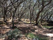 Bosque típico de los olivos en Corfú, Grecia Fotografía de archivo