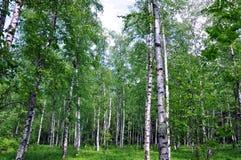 Bosque temprano del abedul del resorte Imagenes de archivo