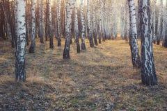 Bosque temprano del parque de los abedules de la primavera Foto de archivo