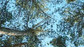 Bosque, tops de los árboles en el bosque, árboles de pino, picea contra el cielo azul en parque de la primavera con las porciones almacen de video