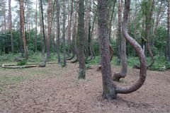Bosque torcido cerca de Nowe Czarnowo Imagen de archivo libre de regalías