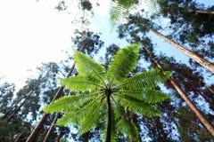 Bosque tropical del pino Imagenes de archivo