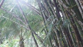 Bosque tropical denso con las vides torcidas de la liana que cuelgan de altos árboles de la selva tropical de la selva almacen de metraje de vídeo