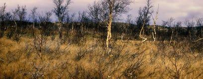 Bosque-tundra en el centro del otoño - abedul torcido Imagenes de archivo