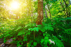 Bosque, un rayo de la sol Fotos de archivo