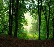 Bosque verde brumoso del verano del fondo de la naturaleza Fotos de archivo