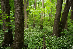 Bosque verde con ajo salvaje Foto de archivo libre de regalías