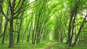 Bosque verde con la trayectoria, los árboles y la luz del sol que pasa a través de las hojas almacen de video