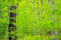 Bosque verde de la hoja Fotografía de archivo libre de regalías