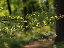 Bosque verde de la primavera en rayos del sol fotografía de archivo libre de regalías