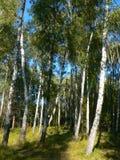 Bosque verde del abedul Fotografía de archivo