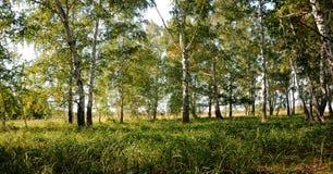 Bosque verde del abedul del verano Imagen de archivo libre de regalías