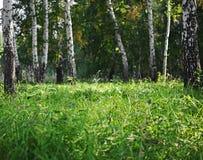 Bosque verde del abedul del verano Foto de archivo libre de regalías
