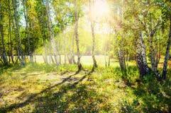 Bosque verde del abedul en la sol Imagenes de archivo