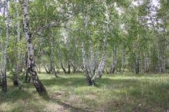 Bosque verde del abedul en un día soleado 20310 Fotos de archivo libres de regalías
