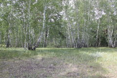 Bosque verde del abedul en un día soleado 20308 Imagen de archivo