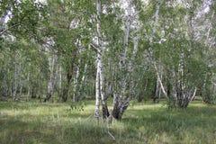 Bosque verde del abedul en un día soleado 20312 Foto de archivo