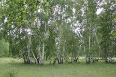 Bosque verde del abedul en un día soleado Foto de archivo