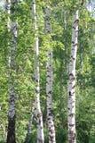 Bosque verde del abedul en un día soleado Fotos de archivo libres de regalías