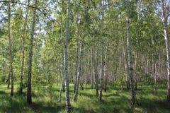 Bosque verde del abedul en un día soleado Imagenes de archivo