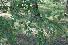 Bosque verde del abedul en un día soleado Fotografía de archivo