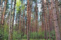 Bosque verde del pino con el fondo understory bajo del eco de la naturaleza Fotos de archivo