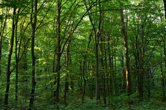 Bosque verde del roble Imágenes de archivo libres de regalías
