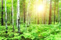 Bosque verde del verano en la puesta del sol Imagen de archivo