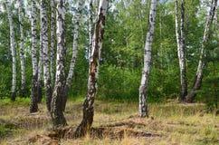 Bosque verde do vidoeiro fotografia de stock royalty free