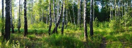 Bosque verde do vidoeiro fotos de stock