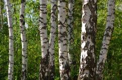 Bosque verde do vidoeiro imagem de stock royalty free