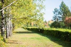 Bosque verde do vidoeiro Foto de Stock