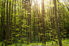 Bosque verde en la sol, fondo de la naturaleza del bosque Foto de archivo libre de regalías