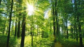 Bosque verde fresco de la haya iluminado maravillosamente por los rayos calientes del sol de la primavera metrajes