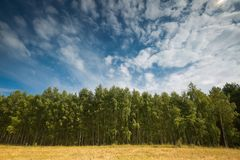 Bosque verde hermoso del abedul del verano Fotos de archivo