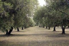 Bosque verde-oliva Fotografia de Stock