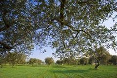 Bosque verde-oliva Imagens de Stock