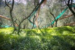 Bosque verde-oliva após a colheita fotografia de stock