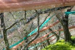 Bosque verde-oliva após a colheita foto de stock