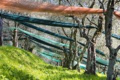 Bosque verde-oliva após a colheita fotografia de stock royalty free