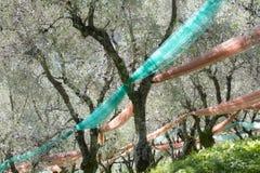 Bosque verde-oliva após a colheita foto de stock royalty free