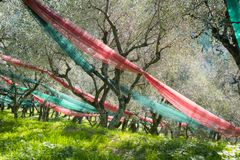 Bosque verde-oliva após a colheita fotos de stock royalty free