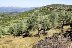 Bosque verde-oliva com azeitonas de Koroneiki em Peloponnese, Grécia imagens de stock royalty free