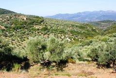 Bosque verde-oliva com azeitonas de Koroneiki em Peloponnese, Grécia imagens de stock