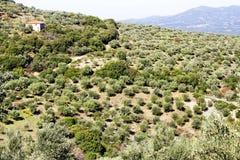 Bosque verde-oliva com azeitonas de Koroneiki em Peloponnese, Grécia foto de stock