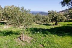 Bosque verde-oliva com azeitonas de Koroneiki região em Kalamata, Peloponnese, Grécia fotos de stock