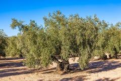 Bosque verde-oliva com azeitonas maduras fotos de stock