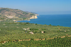 Bosque verde-oliva de Gargano fotografia de stock royalty free