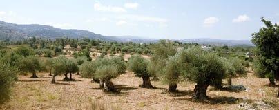 Bosque verde-oliva do Cretan Foto de Stock