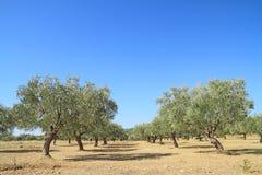 Bosque verde-oliva em Grécia Fotografia de Stock
